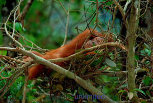 Sumatran orangutan (Pongo abeli) in a night nest Gunung Leuser National Park, Indonesia.