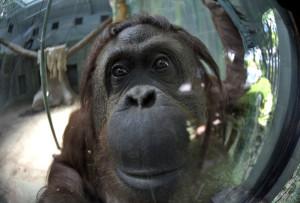 sandra-orangutan-buenos-aires-condiciones_milima20141222_0268_3