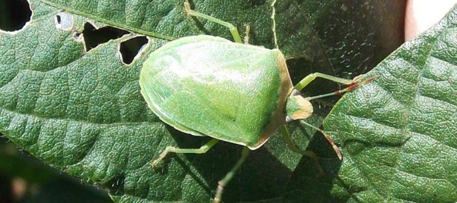 manejo-de-insectos-en-el-cultivo-de-soja-900x400-1